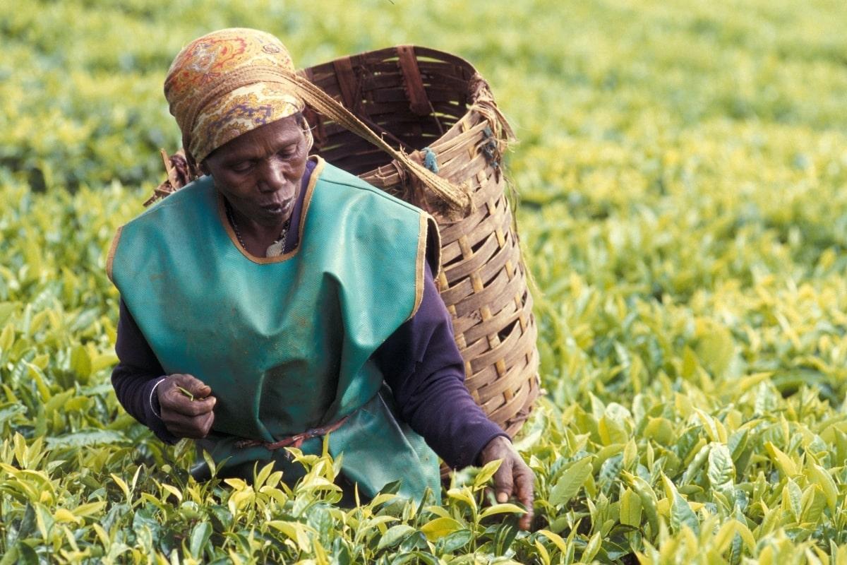 """a female worker plucking tea leaves in the plantations of Limuru, Kenya"""